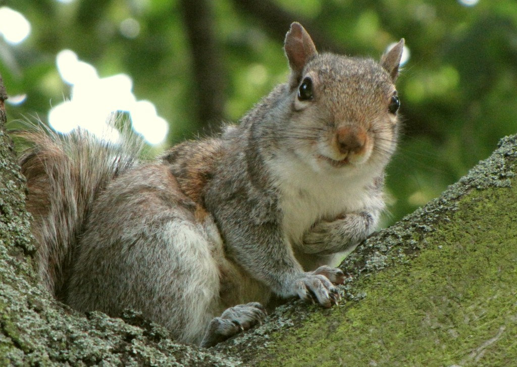 No squirrel was hurt during the taking of this photograph. Photo credit:  William N. Beckon (CC-By-SA 3.0)