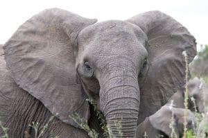1024px-Angry_elephant_ears