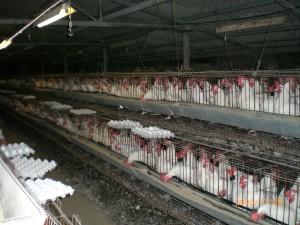 Industrial-Chicken-Coop